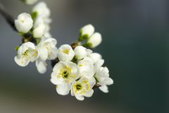 Fleurs de prune en premier ressort image stock