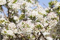 Fleurs de prunellier, Israël image stock