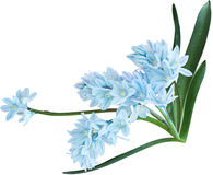 Fleurs de Puschkinia Photographie stock