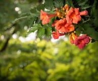 Fleurs de radicans de Campsis d'isolement sur le fond blanc Photo stock