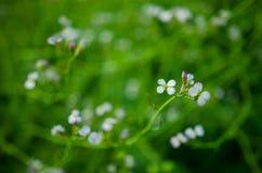 Fleurs de radis Image stock