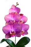 Fleurs de Rchid d'isolement sur le fond blanc Photo libre de droits