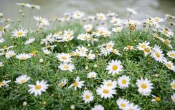 Fleurs de recutita de Matricaria Images libres de droits