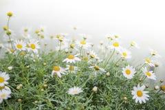 Fleurs de recutita de Matricaria Photos stock