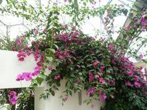 Fleurs de remorquage roses lumineuses images stock