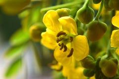 Fleurs de renoncule photos stock