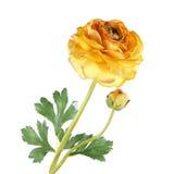 Fleurs de renoncule sur le fond blanc photo stock