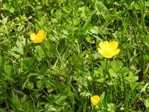 Fleurs de renoncules Photos stock