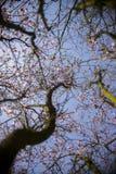 Fleurs de ressort avec le fond bleu Photographie stock