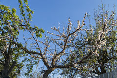 Fleurs de ressort d'abricot Photo libre de droits