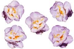 Fleurs de ressort d'isolement sur le fond blanc Photographie stock libre de droits
