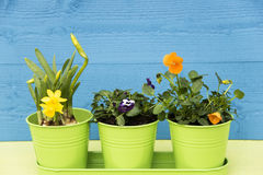 Fleurs de ressort dans des pots Image stock
