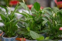 Fleurs de ressort dans des pots sur l'?tag?re d'un fleuriste images libres de droits