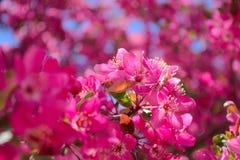 Fleurs de ressort dans le rose avec le ciel bleu Photos libres de droits