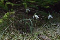 Fleurs de ressort dans une forêt de montagne Photographie stock