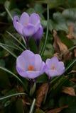 Fleurs de ressort de crocus Photo stock