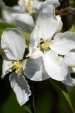 fleurs de ressort de fleur blanche de pomme Photo stock
