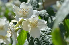 Fleurs de ressort de jasmin dans le jardin Philadelphus Photo stock
