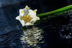 Fleurs de ressort de perce-neige feuille, nature, usine, blanc, fleurs, le soleil Images libres de droits