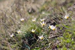 Fleurs de ressort de perce-neige Puits frais de vert complétant les fleurs de blanc Image stock