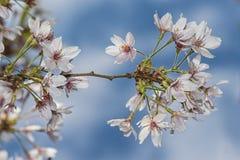Fleurs de ressort de Sakura de fleurs blanches Image stock