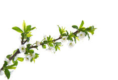 Fleurs de ressort des arbres fruitiers photographie stock