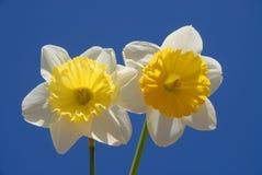 Fleurs de ressort, deux belles jonquilles contre le ciel bleu photos stock