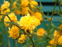 Fleurs de ressort du village Image stock