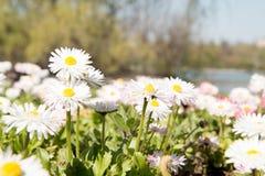Fleurs de ressort en parc Images stock