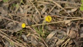 Fleurs de ressort de jaune de farfara de Tussilago de Coltsfoot Plante médicinale, fleurissant au début du ressort banque de vidéos