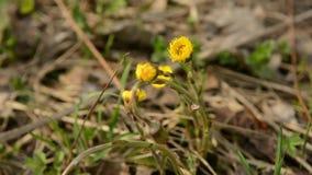 Fleurs de ressort de jaune de farfara de Tussilago de Coltsfoot Plante médicinale, fleurissant au début du ressort clips vidéos