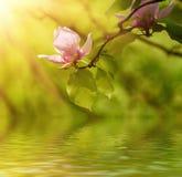 Fleurs de ressort de magnolia Image stock