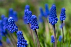 Fleurs de ressort Muscari en gros plan, fleurs bleues et pourpres photographie stock