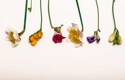 Fleurs de ressort, narcisse, freesia Photographie stock libre de droits