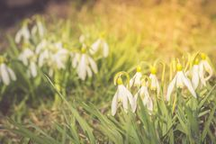 Fleurs de ressort de Nowdrop La fleur sensible de perce-neige est l'un des symboles de ressort nous indiquant que l'hiver part et photo stock