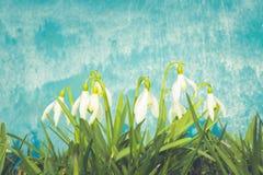 Fleurs de ressort de Nowdrop La fleur sensible de perce-neige est l'un des symboles de ressort nous indiquant que l'hiver part et images libres de droits
