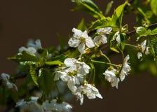 Fleurs de ressort de pomme Pommiers dans la fleur Fleurs de pomme fleurs blanches d'haut étroit de floraison d'arbre Beaux blos d Photographie stock