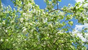 Fleurs de ressort de pommier en Sunny Weather banque de vidéos