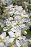 Fleurs de ressort de pommier de floraison de ressort - macro tache floue de vue en gros plan, tons en pastel Paysage de ressort a Images libres de droits