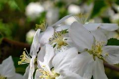 Fleurs de ressort de pommier de floraison de ressort - macro tache floue de vue en gros plan, tons en pastel Paysage de ressort a Photographie stock
