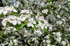 Fleurs de ressort de pommier de floraison de ressort - macro tache floue de vue en gros plan, tons en pastel Paysage de ressort a Images stock