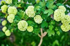 Fleurs de ressort sur la branche avec les feuilles vertes images libres de droits