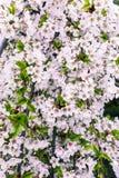 Fleurs de ressort sur le cerisier Photos stock