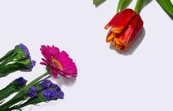 Fleurs de ressort, tulipe rouge et gerbera, sur le fond blanc photo libre de droits