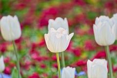 Fleurs de ressort de tulipes image stock