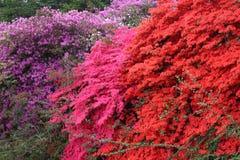 Fleurs de rhododendron d'azalée Photos libres de droits