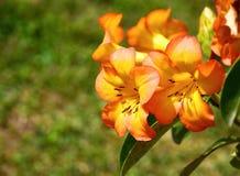 Fleurs de rhododendron de Vireya photos libres de droits