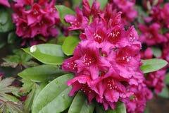 Fleurs de rhododendron en pleine floraison Photographie stock