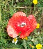 Fleurs de rhoeas de pavot Photo libre de droits