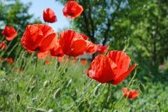 Fleurs de rhoeas de pavot photos stock